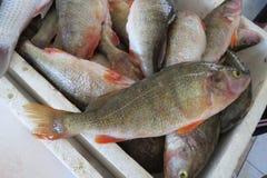 Экзотический окунь-Barsch рыб Стоковые Изображения RF
