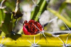 Экзотический плодоовощ кактуса - красный плодоовощ дракона стоковая фотография