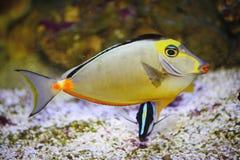 Экзотический тропический рыб-хирург Стоковые Изображения