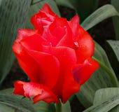 экзотический тюльпан цветка Стоковое Фото