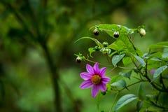Экзотический фиолетовый цветок с бутонами Стоковая Фотография