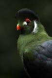экзотический turaco Стоковое Изображение RF