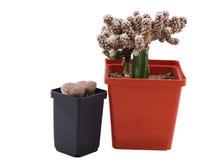2 экзотических кактуса в баках белизна изолированная предпосылкой Стоковые Фото