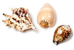 3 экзотических seashells на белизне Стоковое Изображение RF