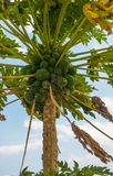 Экзотическое дерево папапайи с папапайей приносить в Кении Стоковая Фотография