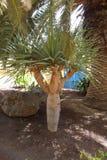 Экзотическое дерево в острове Лансароте в Канарских островах Стоковая Фотография RF