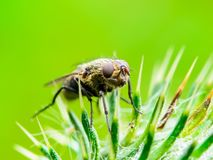 Экзотическое насекомое двукрылые дрозофилы дрозофилы на заводе шипа Стоковые Изображения RF