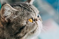 Экзотическое фото макроса породы кота Shorthair голова кота крупного плана с оранжевым глазом стоковое фото rf