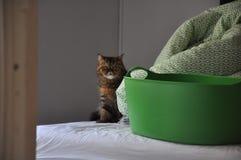 Экзотическое shorthair за зеленой корзиной на кровати стоковая фотография rf