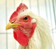 Экологическая курица Стоковое Изображение RF