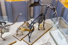 Экспонаты старых ископаемых флоры и фауны музея Мюнхена антропологического стоковая фотография rf