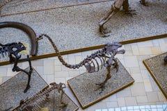 Экспонаты старых ископаемых флоры и фауны музея Мюнхена антропологического стоковые фотографии rf