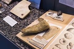 Экспонаты старых ископаемых флоры и фауны музея Мюнхена антропологического стоковые фото