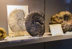 Экспонаты старых ископаемых флоры и фауны музея Мюнхена антропологического стоковое фото