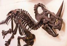Экспонаты старых ископаемых флоры и фауны музея Мюнхена антропологического стоковые изображения rf