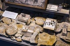 Экспонаты старых ископаемых флоры и фауны музея Мюнхена антропологического стоковое изображение