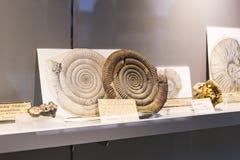 Экспонаты старых ископаемых флоры и фауны музея Мюнхена антропологического стоковое фото rf