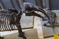Экспонаты старых ископаемых флоры и фауны музея Мюнхена антропологического стоковая фотография