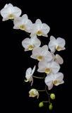 экстренныйый выпуск орхидеи Стоковое Изображение