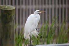 Элегантность большого белого Egret стоковые фото