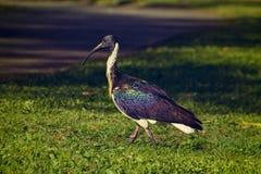 Элегантный австралиец Ibis принимая прогулку в парке в Брисбене, в Австралии стоковые изображения rf