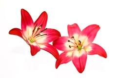 Элегантный конец вверх белых и красных лилий Стоковые Изображения RF