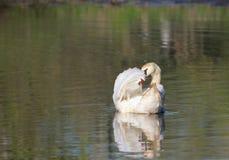 Элегантный лебедь в озере Стоковые Фотографии RF
