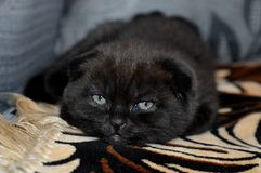 Элегантный черный кот, сокращать-ушастый шоколад Маленький котенок любимчика Стоковая Фотография