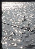 2 элегантных белых лебедя плавая на озере Стоковое Фото