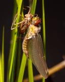 эмерджентность dragonfly Стоковое фото RF