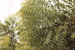 ЭМИРАТЫ DUBAI-UNITED АРАБСКИЕ 21-ОГО ИЮЛЯ 2017 листья зеленого цвета Естественная картина листьев заводов с ПРЕДПОСЫЛКОЙ НЕБА Стоковое Фото