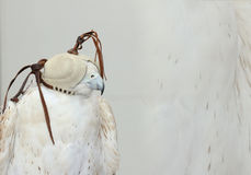 ЭМИРАТЫ DUBAI-UNITED АРАБСКИЕ 21-ОГО ИЮНЯ 2017 Первоклассное изображение снятое ПТИЦЫ СОКОЛА, глаз предусматриванных с маской ест Стоковое Изображение RF