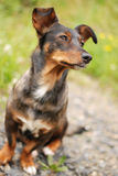 Эмоциональное визирование собаки Стоковые Фотографии RF