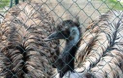 Эму в клетке на зоопарке стоковая фотография