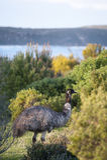 Эму, полуостров Yorke, южное Australa Стоковые Изображения