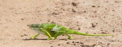 Эндемическое заболевание & угрожало multituberculata Kinyongia хамелеона Usambara 2-horned в Танзании стоковые фотографии rf