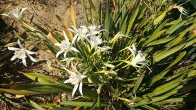 Эндемичные лилии Стоковые Изображения
