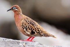 Эндемичный голубь Галапагос Стоковая Фотография