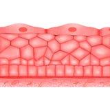 Эпителиальные ткани Стоковая Фотография