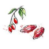 Эскиз акварели ягод goji Стоковое Изображение