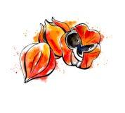 Эскиз акварели guarana Иллюстрация штока