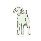 Эскиз вектора покрасил изолированную животноводческую ферму иллюстрации Молодая белая коза с выменами и никакими рожками Продукци Стоковое Изображение RF