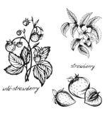 Эскиз клубники цветет, ягоды, клубники, эскиз Стоковые Изображения