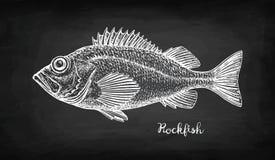 Эскиз мела морского окуня Стоковая Фотография RF