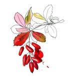 Эскиз нарисованный рукой барбариса Стоковые Фотографии RF