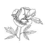 Эскиз пиона черно-белый Стоковое Фото