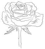эскиз роз Стоковое Фото