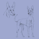 Эскиз собаки фараона Стоковые Фото
