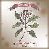 Эскиз цвета aromaticum Syzygium гвоздичного дерева aka нарисованный рукой Стоковая Фотография