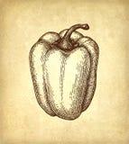 Эскиз чернил болгарского перца иллюстрация штока